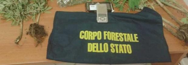 Piante di cannabis nel bosco