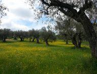 Olio, territorio e arie d'opera, a Cartoceto appuntamento con l'eccellenza