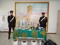Fano, carabinieri arrestano giardiniere per coltivazione di marijuana