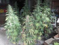 Terre Roveresche, arrestato 53enne sorpreso con 6 etti di marijuana