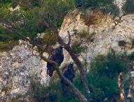 Riserva del Furlo, la coppia di aquile reali ha iniziato con anticipo il periodo di nidificazione
