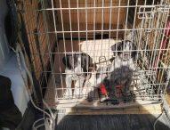 Cuccioli abbandonati nel pozzetto salvati dai vigili del fuoco
