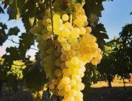 Vendemmia con i bianchi al top: l'80% della produzione andrà per i vini di qualità