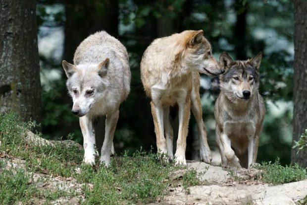 """Attacchi dei lupi, strage infinita nei pascoli tra Serra e Frontone: """"Rimborsi insufficienti"""""""