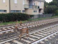Cervo lungo i binari, treni rallentati