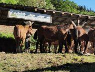 Cavallo del Catria, l'Azienda Speciale investe per la salvaguardia della razza equina