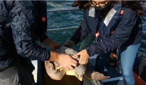 Liberata in mare la tartaruga Lajò, salvata dalla guardia costiera di Fano a settembre