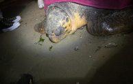 Salvata tartaruga marina di grandi dimensioni. E' stata chiamata Flaminia